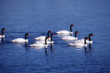 Black-necked Swan (Cygnus melancoryphus) group swimming, Puerto Natales, Chilean Fjords, Chile  -  Tui De Roy