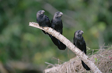 Smooth-billed Ani (Crotophaga ani) in savannah scrub habitat, Caiman Ecological Refuge, Pantanal ecosystem, Brazil  -  Tui De Roy