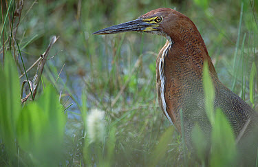 Rufescent Tiger-Heron (Tigrisoma lineatum) foraging in marshland, Caiman Ecological Refuge, Pantanal, Brazil  -  Tui De Roy