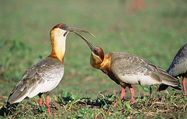 Buff-necked Ibis (Theristicus caudatus) pair in savannah marshland, Caiman Ecological Refuge, Pantanal, Brazil  -  Tui De Roy