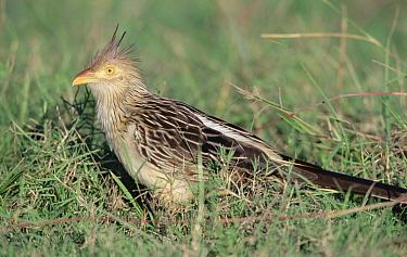 Guira Cuckoo (Guira guira) foraging in savannah marshland, Caiman Ecological Refuge, Pantanal, Brazil  -  Tui De Roy