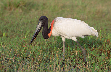 Jabiru Stork (Jabiru mycteria) foraging in savannah marshland, Caiman Ecological Refuge, Pantanal, Brazil  -  Tui De Roy