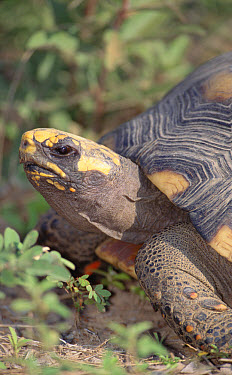 Red-footed Tortoise (Geochelone carbonaria) in savannah scrubland, Caiman Ecological Refuge, Pantanal, Brazil  -  Tui De Roy
