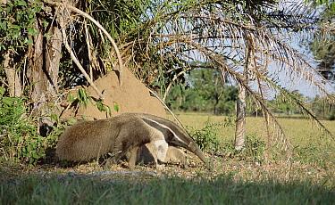 Giant Anteater (Myrmecophaga tridactyla) among vegetation, Pantanal, Brazil  -  Tui De Roy