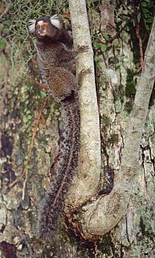 Common Marmoset (Callithrix jacchus) in tree, Atlantic Forest, Brazil  -  Tui De Roy