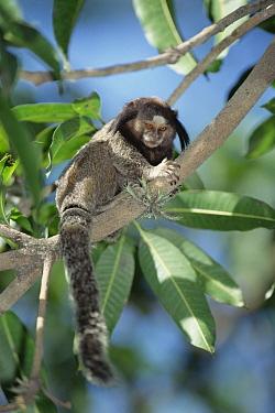 Black Tufted-ear Marmoset (Callithrix penicillata), Atlantic Forest, Brazil  -  Tui De Roy
