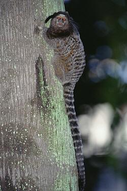 Black Tufted-ear Marmoset (Callithrix penicillata) portrait, Atlantic Forest, Brazil  -  Tui De Roy