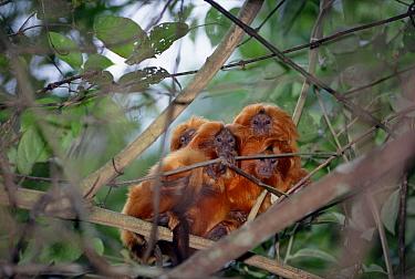 Golden Lion Tamarin (Leontopithecus rosalia) group huddling together during nap time, Poco Das Antas Reserve, Atlantic Forest, Brazil  -  Tui De Roy