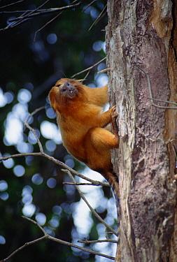 Golden Lion Tamarin (Leontopithecus rosalia) in dense forest habitat, Poco Das Antas Reserve, Atlantic Forest, Brazil  -  Tui De Roy