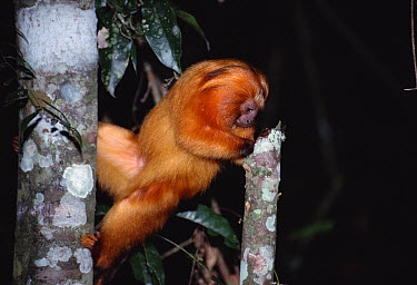 Golden Lion Tamarin (Leontopithecus rosalia) foraging for insects, Poco Das Antas Reserve, Atlantic Forest, Brazil  -  Tui De Roy
