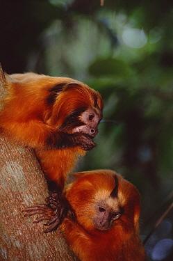 Golden Lion Tamarin (Leontopithecus rosalia) family group socializing, Poco Das Antas Reserve, Atlantic Forest, Brazil  -  Tui De Roy