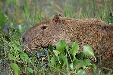 Capybara (Hydrochoerus hydrochaeris) feeding in marshland habitat, Caiman Ecological Refuge, Pantanal, Brazil  -  Tui De Roy