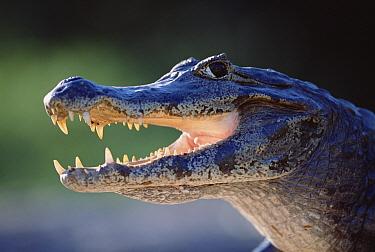 Jacare Caiman (Caiman yacare) portrait, Pantanal, Brazil  -  Tui De Roy