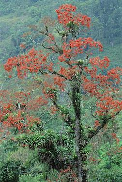 Erythrina tree laden with epiphytic bromeliad, south Bocaina National Park, Atlantic Forest, Brazil  -  Tui De Roy