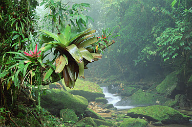 Bromeliad (Bromeliaceae) growing along stream in Bocaina National Park, Atlantic Forest, Brazil  -  Tui De Roy