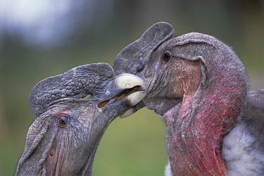 Andean Condor (Vultur gryphus) adult male pair interacting, Condor Huasi Project, Hacienda Zuleta, Cayambe, Ecuador  -  Tui De Roy