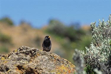 Mourning Sierra-Finch (Phrygilus fruticeti) portrait, on rock, Colca Canyon, Southern Andes, Peru  -  Tui De Roy