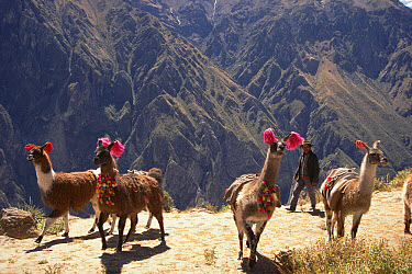 Llama (Lama glama) train carrying goods from village to village in age-old bartering system still used today, Colca Canyon, Southern Andes, Peru  -  Tui De Roy