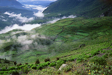 Terraced fields growing barley, potatoes, and other crops for 1,400 years, are lush after the rainy season, Colca Canyon, Southern Andes, Peru  -  Tui De Roy