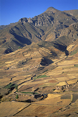 Terraced fields growing barley, potatoes, and other crops for 1,400 years at harvest time during the dry season, Colca Canyon, Southern Andes, Peru  -  Tui De Roy