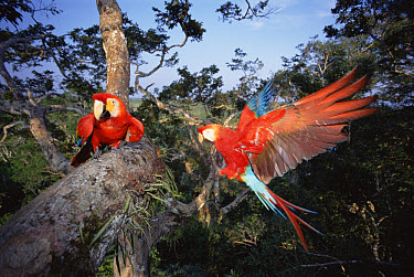 Scarlet Macaw (Ara macao) pair 30 meters high in rainforest canopy, upper Tambopata River, Peruvian Amazon, Peru  -  Tui De Roy