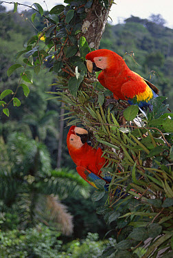 Scarlet Macaw (Ara macao) pair in rainforest canopy, originally hand raised by research center, they now live in the wild, Tambopata-Candamo Reserve, Amazon Basin, Peru  -  Tui De Roy