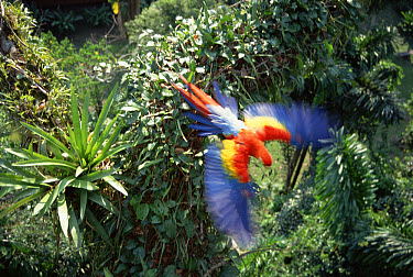 Scarlet Macaw (Ara macao) flying in rainforest canopy, upper Tambopata River, Peruvian Amazon, Peru  -  Tui De Roy