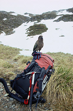 Kea (Nestor notabilis) in alpine habitat, perched on hiker's backpack, Mount Cook National Park, South Island, New Zealand  -  Tui De Roy