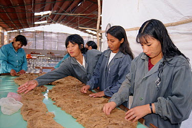 Vicuna (Vicugna vicugna) wool processing plant, women employed from Andean communities are sorting, cleaning and packaging fiber for export, Nazca, Peru  -  Tui De Roy