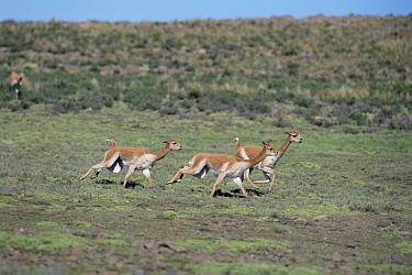 Vicuna (Vicugna vicugna) males chasing each other to establish dominance, Pampa Galeras National Reserve, Peruvian Andes, Peru  -  Tui De Roy