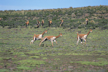 Vicuna (Vicugna vicugna) males chasing to establish dominance, Pampa Galeras National Reserve, Peruvian Andes, Peru  -  Tui De Roy