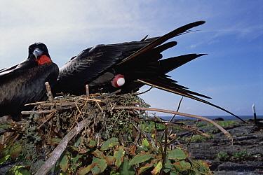 Great Frigatebird (Fregata minor) female laying egg with male waiting to take over first incubation stint, Genovesa Tower Island, Galapagos Islands, Ecuador  -  Tui De Roy