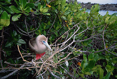 Red-footed Booby (Sula sula) brown morph nesting in Mangrove (Avicennia sp), Tower Island, Galapagos Islands, Ecuador  -  Tui De Roy