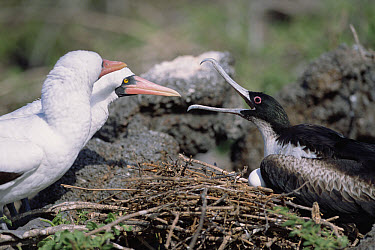 Nazca Booby (Sula granti) aggressive pair driving incubating Frigatebird off her ground level nest, Genovesa Tower Island, Galapagos Islands, Ecuador  -  Tui De Roy