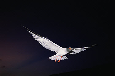 Swallow-tailed Gull (Creagrus furcatus) endemic, world's only nocturnal and pelagic gull departs at dusk to feed far offshore, Genovesa Tower Island, Galapagos Islands, Ecuador  -  Tui De Roy