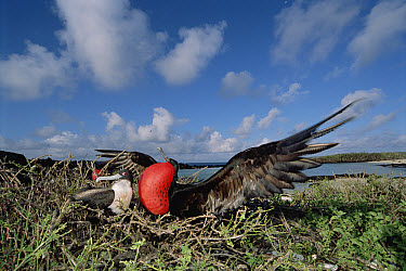 Great Frigatebird (Fregata minor) recently formed pair, female inspecting male in courtship display with extended gular pouch, Genovesa Tower Island, Galapagos Islands, Ecuador  -  Tui De Roy