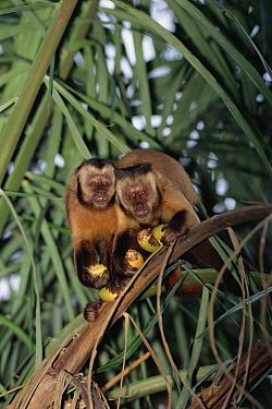 Brown Capuchin (Cebus apella) feeding on wild Palm (Scheelea phalerata) palm nuts, Caiman Ecological Refuge, Pantanal, Brazil  -  Tui De Roy