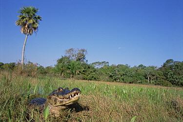 Jacare Caiman (Caiman yacare) basking in marshland habitat, Caiman Ecological Refuge, Pantanal, Brazil  -  Tui De Roy