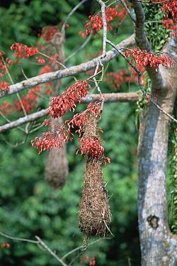 Oropendola (Psarocolius sp) nests, colonial breeders in prominent tree (Erythrina sp), Yanachaga-Chemellin National Park, Amazon Basin, Peru  -  Tui De Roy