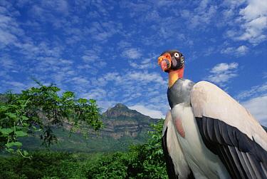 King Vulture (Sarcoramphus papa) in natural arid forest habitat, Cerro Chaparri, Lambayeque Province, Peru  -  Tui De Roy