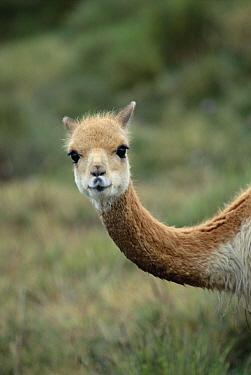 Vicuna (Vicugna vicugna) South American camelid of the high Andes, prized for its fine wool, Apurimac, Peruvian Andes, Peru  -  Mark Jones