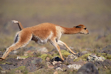 Vicuna (Vicugna vicugna) male chasing rival, Pampa Galeras National Reserve, Peruvian Andes, Peru  -  Mark Jones