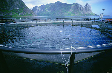 Atlantic Salmon (Salmo salar) farm, each pen maturing up to 10,000 fish, Reine, Lofoten Islands, Norway  -  Tui De Roy
