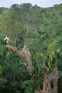 King Vulture (Sarcoramphus papa) at nest site in rainforest canopy, Ese'eja Native Lands, Tambopata River, Amazon, Peru  -  Tui De Roy