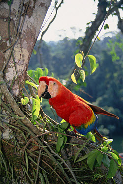 Scarlet Macaw (Ara macao) making a living in rainforest canopy, originally hand-raised by research center, Tambopata-Candamo Reserved Zone, Amazon Basin, Peru  -  Tui De Roy
