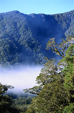 West coast forest, Haast River Valley, Mt Aspiring National Park, South Island, New Zealand  -  Tui De Roy