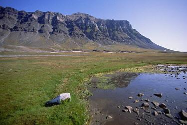 Svalbard Reindeer (Rangifer tarandus platyrhynchus) in arctic meadow, Bellsund, Svalbard Archipelago, Norwegian Arctic  -  Tui De Roy