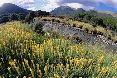 Maori Onion (Bulbinella hookeri) cluster in full summer bloom, Cobb Valley, Kahurangi National Park, South Island, New Zealand  -  Tui De Roy