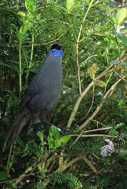North Island Kokako (Callaeas cinerea wilsoni) threatened endemic species, plant eater, forest floor to canopy, lives in close-bonded pair year-round, Otorohanga Breeding Center, New Zealand  -  Tui De Roy