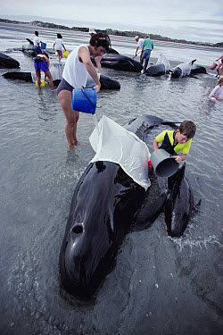 Long-finned Pilot Whale (Globicephala melas) mass stranding with volunteers working to keep them cool, New Zealand  -  Tui De Roy